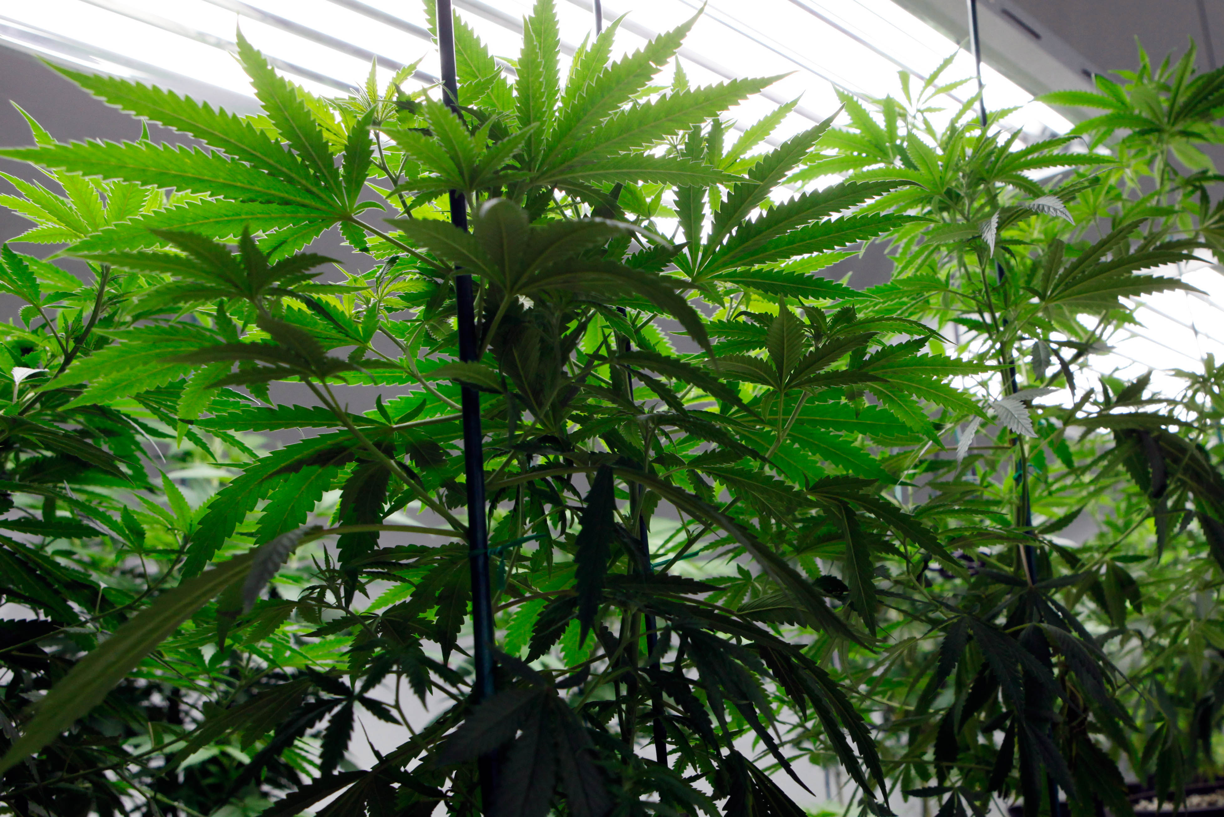 Chinese Workers Turn to US Marijuana Industry as...