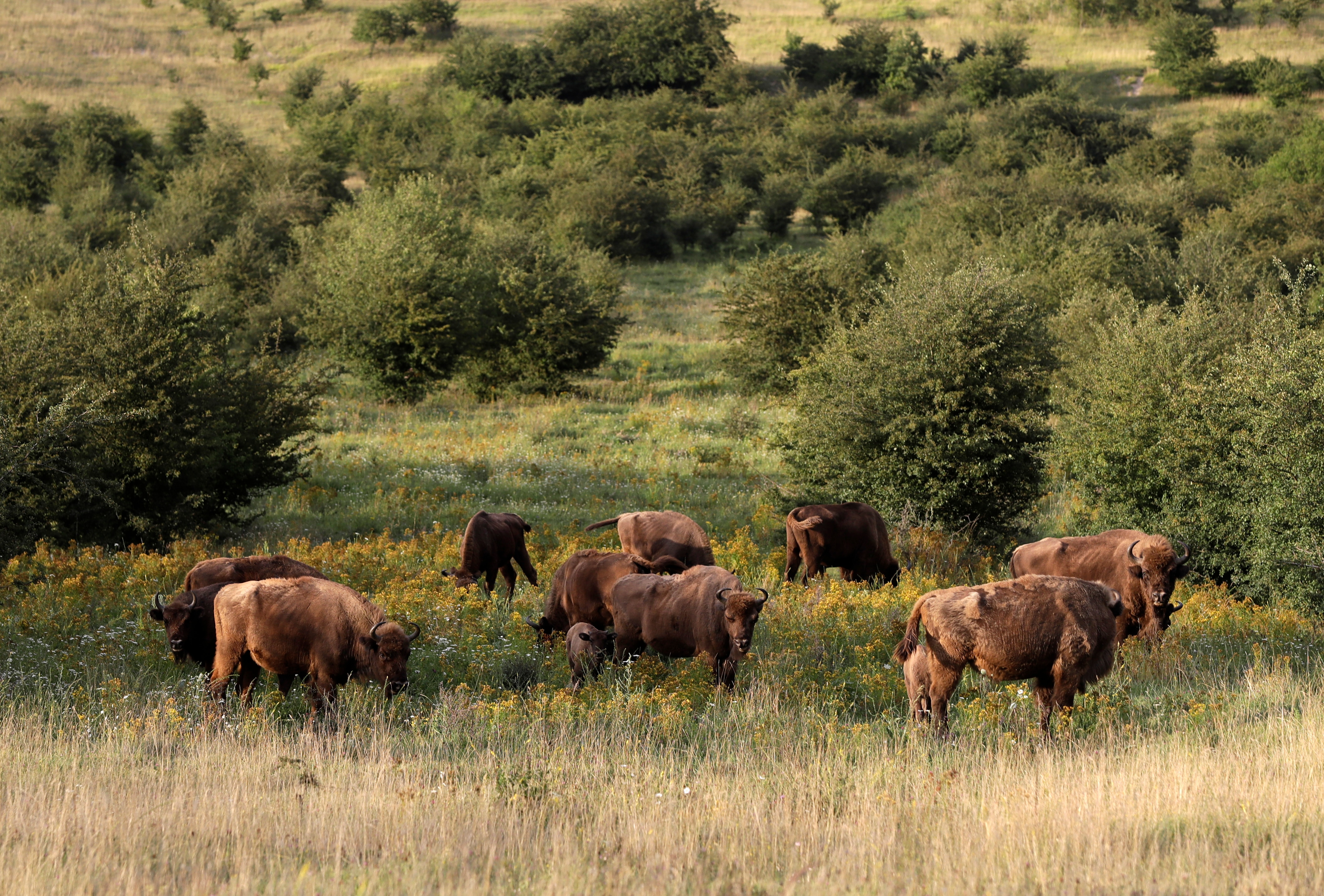 Extinct for Millennia, Bison Back in Spain to Fight Climate Change - Voice of America