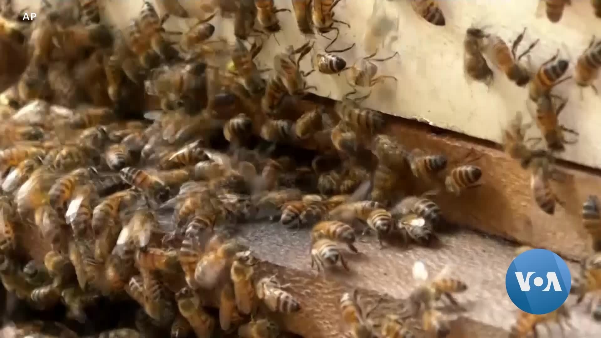 Honey Prices Soar as Bees Die