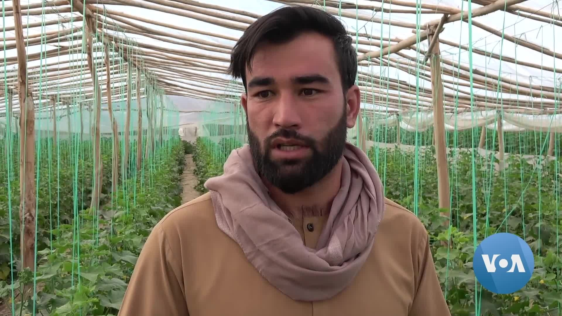 Pandemic Deals Blow to Afghanistan's Once-Thriving Agriculture Sector