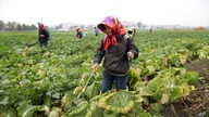 FILE - North Korean farmers spray fertilizer on cabbage crops at the Chilgol vegetable farm on the outskirts of Pyongyang, Oct. 24, 2014. in North Korea.
