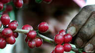 Red ripe coffee beans bloom on a plantation near Naranjo, Costa Rica in November 23, 2001.