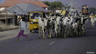 FILE - A boy runs as a herd of cattle approach on a street in Jalingo, Apr. 10, 2015.
