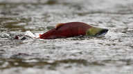 A sockeye salmon scurries through shallow water in the Adams River in British Columbia, Canada, Oct. 11, 2006.