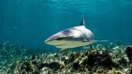 Sharks prefer the shallow waters in or around coral reefs. (Photo: McNicholas/Cresswell)