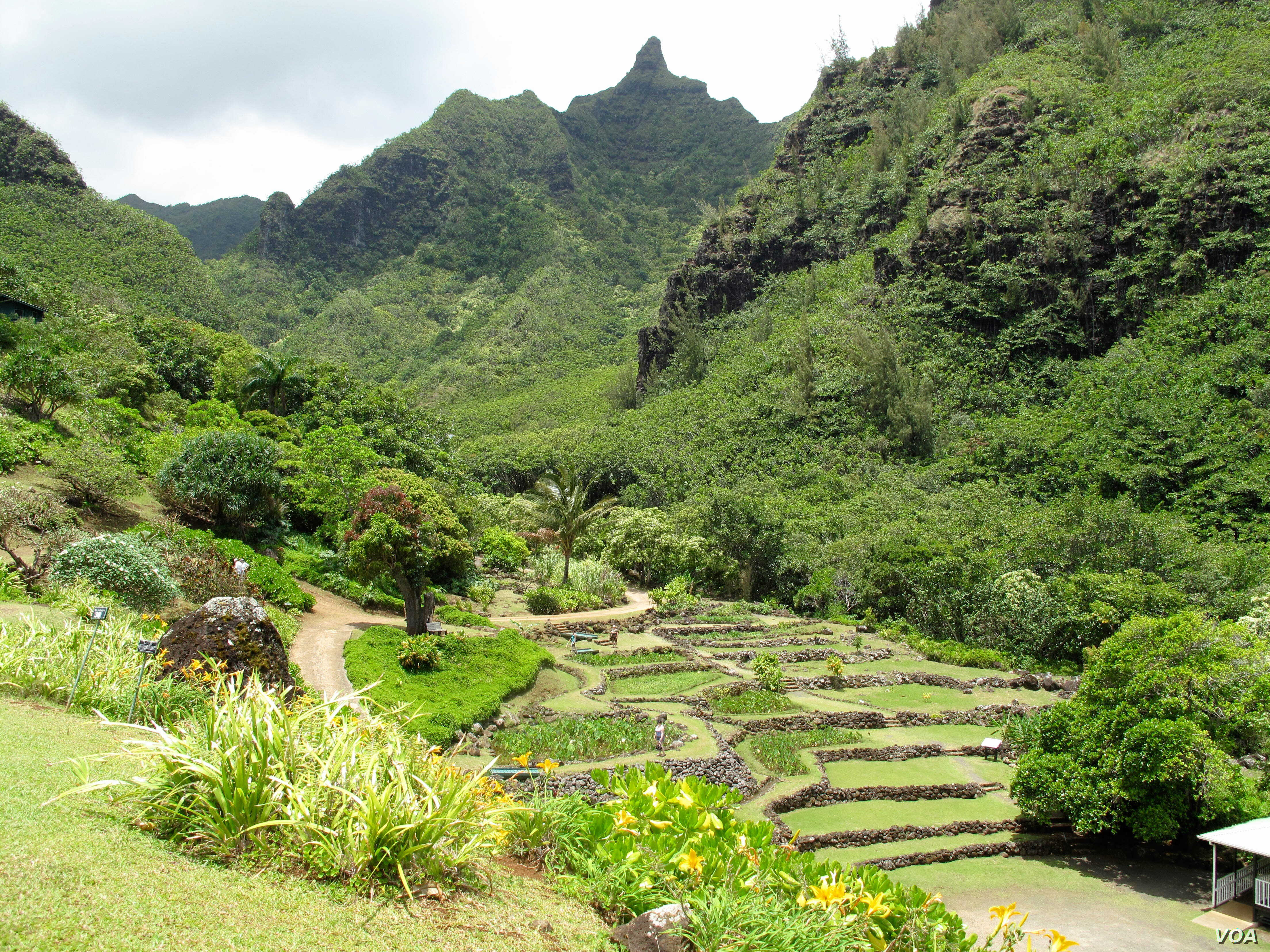 Ancient Hawaiians built a system of terraces in the Limahuli valley to grow taro and other crops.