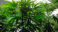 FILE -  Marijuana plants flourish under grow lights at a warehouse.