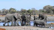 Elephants drink water in one of the dry channel of the wildlife reach Okavango Delta near the Nxaraga village in the outskirt…