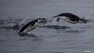 A pair of chinstrap penguins swim near Two Hummock Island, Antarctica.