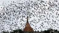 Bats from a cave fly over Wat Khao Cong Phran Temple in search of food during dusk in Ratchaburi province, 130 km (81 miles)…