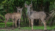 Kudus stand in a holding inclosure at Liwonde National Park in southern Malawi, on December 27, 2017. - African Parks…