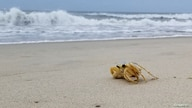 A ghost crab crawls on an abandoned beach where visitors were evacuated ahead of Tropical Storm Isaias, on Hatteras Island,…