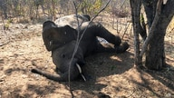 A dead elephant is seen in Hwange National park, Zimbabwe, Saturday, Aug. 29, 2020. A spokesman for Zimbabwe's national parks…