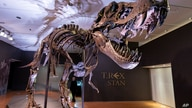 Stan, one of the largest and most complete Tyrannosaurus rex fossils discovered, is on display Sept. 15, 2020, at Christie's in New York. The T. rex will go up for auction Oct. 6.