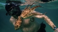 A man in snorkel and fins swims with an octopus that is about the length of his arm.