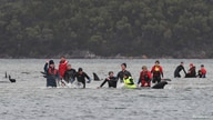 Rescue efforts to save whales stranded on a sandbar take place at Macquarie Harbour, near Strahan, Tasmania, Australia, Sept. 22, 2020.