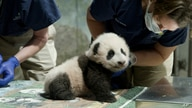 This handout photo released by the Smithsonian's National Zoo shows a panda cub named Xiao Qi Ji in Washington, Nov. 23, 2020.