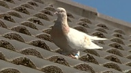 In this image made from video, a racing pigeon sits on a rooftop Wednesday, Jan. 13, 2021, in Melbourne, Australia, The racing…