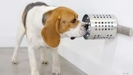 This dog is training to identify the scent associated with COVID-19 in canisters at BioScent in Myakka City, Florida. (Courtesy of BioScent)
