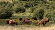 A herd of bisons graze on grass at a wildlife sanctuary in Milovice, Czech Republic, Tuesday, July 28, 2020. Wild horses, bison…