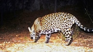 FILE - FILE - This Dec. 1, 2016 file image from video provided by Fort Huachuca shows a wild jaguar in southern Arizona.
