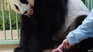 """A Chinese caretaker grabs the first cub as giant panda Huan Huan, which means """"Happy"""" in Chinese, watches while holding her…"""