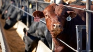 Cattle occupy a feedlot in Columbus, Neb., Wednesday, June 10, 2020. Meat production has rebounded from its low point during…