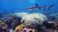 This undated handout photo received on April 6, 2020 from the ARC Centre of Excellence for Coral Reef Studies at James Cook…