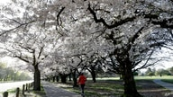 People exercise in the early morning along a spring blossom lined path in Hagley Park, Christchurch, New Zealand, Sunday, Sept…