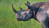 Photo by: KGC-375/STAR MAX/IPx Undated picture released by Kensington Palace of Prince Harry who is the new Patron of Rhino…