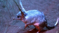 A bilby, Australia's most endangered animal, is seen grazing for food in Sydney, Australia, Friday, Sept. 11, 2009 at the…