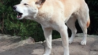 FILE -  In this April 1998 file photo, Australian wild Dingo dog is pictured at an Australian Wildlife park. Lindy Chamberlain…