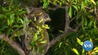 Drones with Infrared Cameras Help Track Elusive Koalas