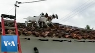 Firefighters Rescue Mischievous Goats