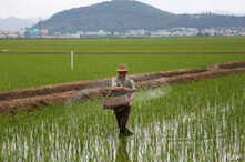 FILE - A farmer spreads fertilizer on a rice field in Sariwon, North Korea, June 13, 2018. The United States is trying to ensure that humanitarian aid doesn't face unnecessary obstacles in getting to North Korea, where the U.N. says around 11 million