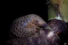 In this photo taken on September 20th, 2016, a Chinese pangolin rests on a tree branch at the Save Vietnam's Wildlife rescue center in Cuc Phuong National Park, Ninh Binh province, Vietnam. On Wednesday in Johannesburg, South Africa, delegates at a U