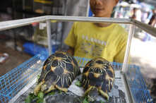 FILE - Radiated tortoises, originally a native species of southern Madagascar, are on display during an annual flora and fauna expo in Jakarta, Indonesia, July 29, 2010.