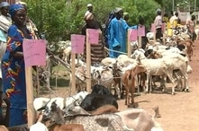Goats are being distributed in Maroua, Cameroon, July 11, 2019, as part of an empowerment initiative designed to prevent locals from being recruited by Boko Haram militants. (M. Kindzeka/VOA)