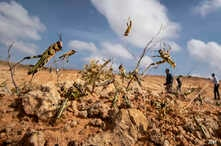 Young desert locusts that have not yet grown wings jump in the air as they are approached, as a visiting delegation from the Food and Agriculture Organization (FAO) observes them, in the desert near Garowe, in the semi-autonomous Puntland region of Somalia, Feb. 5, 2020.