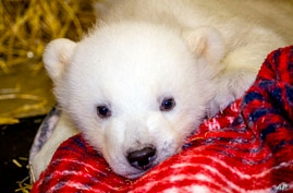 FILE - A photo provided by the Alaska Zoo in Anchorage shows Kali, an orphaned polar bear cub whose mother was shot in Point Lay, Alaska.