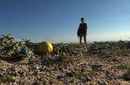 Heather-Rose Kates hunts for a wild squash relative called the coyote melon in California's Mojave Desert. (VOA - S. Baragona).
