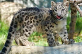 """An endangered snow leopard cub explores it's enclosure the Los Angeles Zoo, in California, Sept. 12, 2017. The elusive snow leopard - long considered an endangered species - has been upgraded to """"vulnerable,"""" international conservationists said Thurs"""