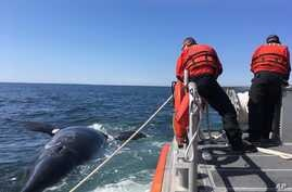 FILE - This April 2017 photo provided by the U.S. Coast Guard shows a young right whale that was founded dead in Cape Cod Bay. The right whale is one of 13 to die in the United States and Canada in 2017.