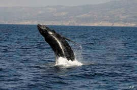 FILE - A humpback whale breaches close to a whale-watching boat off the coast of Long Beach, Calif., Aug. 6, 2016. Peru announced plans Monday for an ocean reserve to help protect feeding and breeding grounds for humpback whales and other marine spec