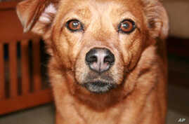 Gene Therapy Halts Vision Loss in Dogs