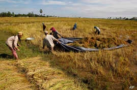 In this Sunday, Dec. 7, 2014 photo, Cambodian farmers drag a tarp loaded with bundles of rice through the flooded rice field to make them dry during the rice harvesting season in Svay Chek village on the outskirts of Phnom Penh, Cambodia. (AP Photo/H