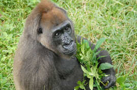 Nyango is the only known Cross River gorilla in captivity. She lives in the Limbe Wildlife Center in Cameroon.