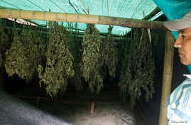 Jose Toconas, 45, shows the drying marijuana plants grown out at his home in the mountains of Tacueyo, Cauca, Colombia, Feb. 10, 2016.