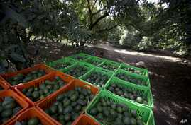 FILE - Avocado boxes are collected an avocado orchard in Michoacan, Mexico, Jan. 16, 2014.