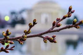 The Cherry trees surrounding the Tidal Basin in Washington, March 1, 2018, have started to bud kicking off the annual guessing game of when will they be at peak bloom.